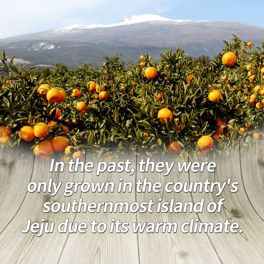 In the past, they were only grown in the country's southernmost island of Jeju due to its warm climate.