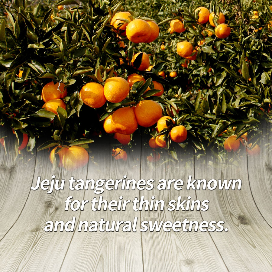 Jeju tangerines are known for their thin skins and natural sweetness.