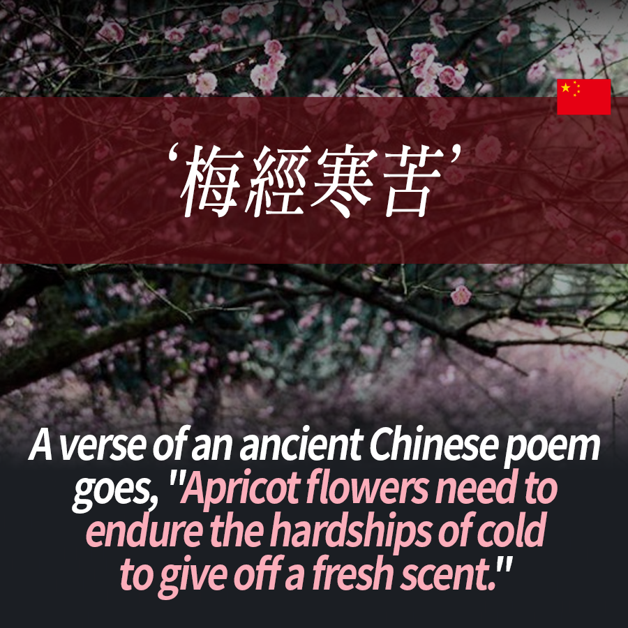 "A verse of an ancient Chinese poem goes, ""Apricot flowers need to endure the hardships of cold to give off a fresh scent."""